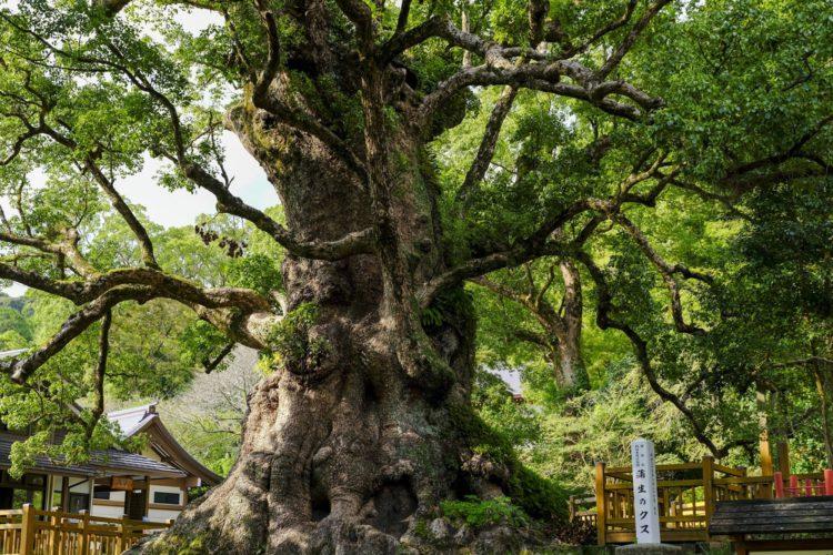 日本一の大楠